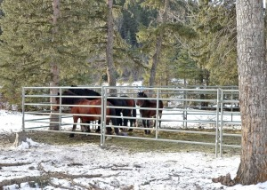 Wild Horses in capture pen