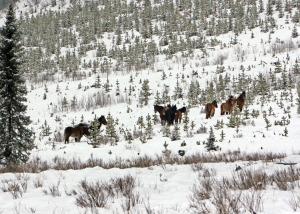 Alberta's wild horses