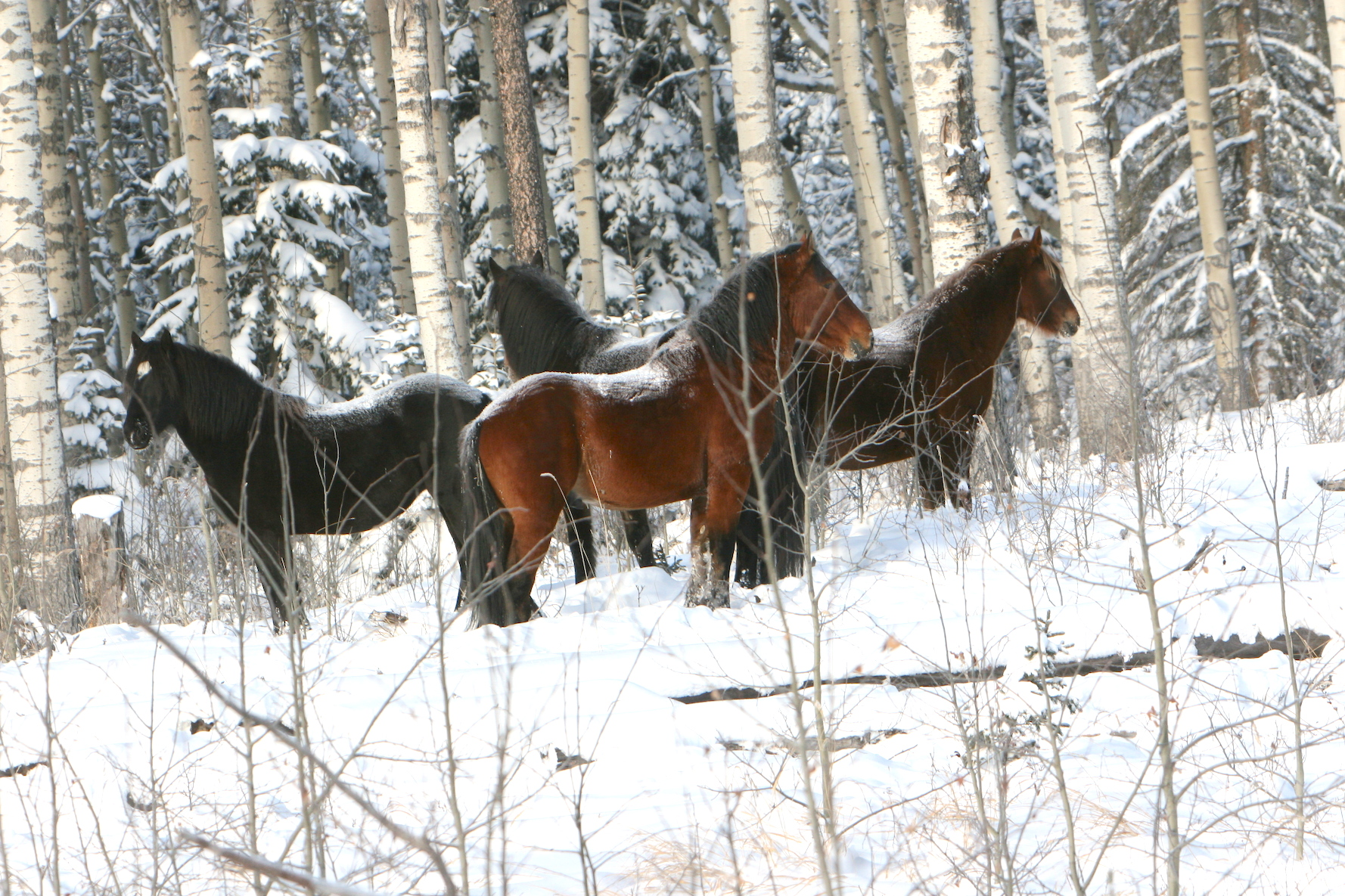 The Cold Snow And Your Wild Horses The Wild Horses Of Alberta Society