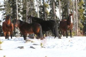 Four beautiful wild horses