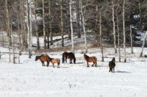 Heavy in foal