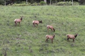 Elk making a comeback