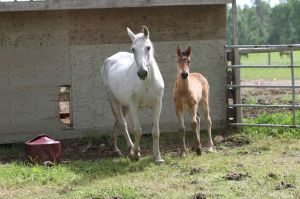 White angel with her filly