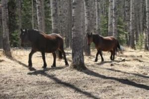 The wild herd mares, Star and Bell
