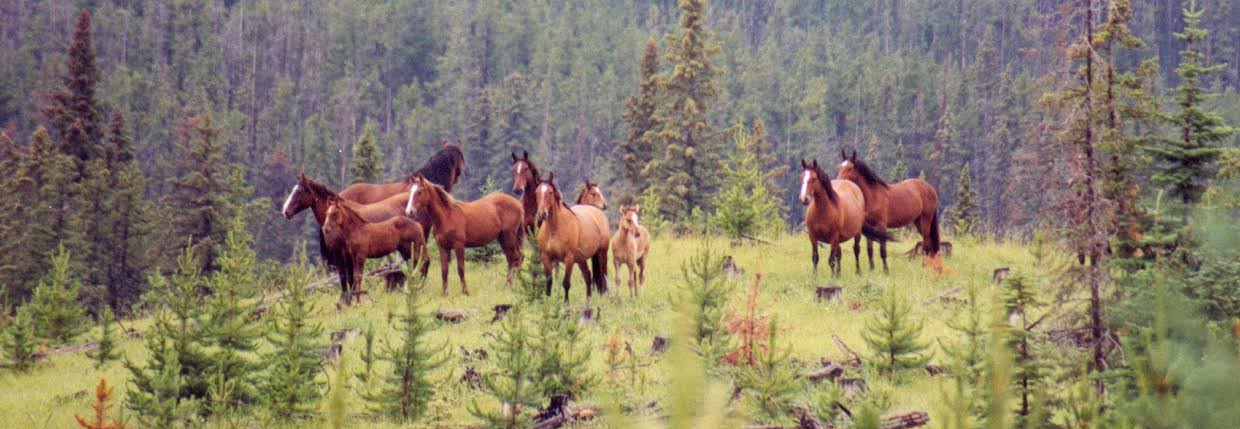 The Wild Horses Of Alberta Society Quot Wherever Man Has