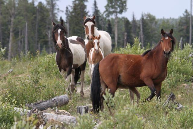 Paint mares